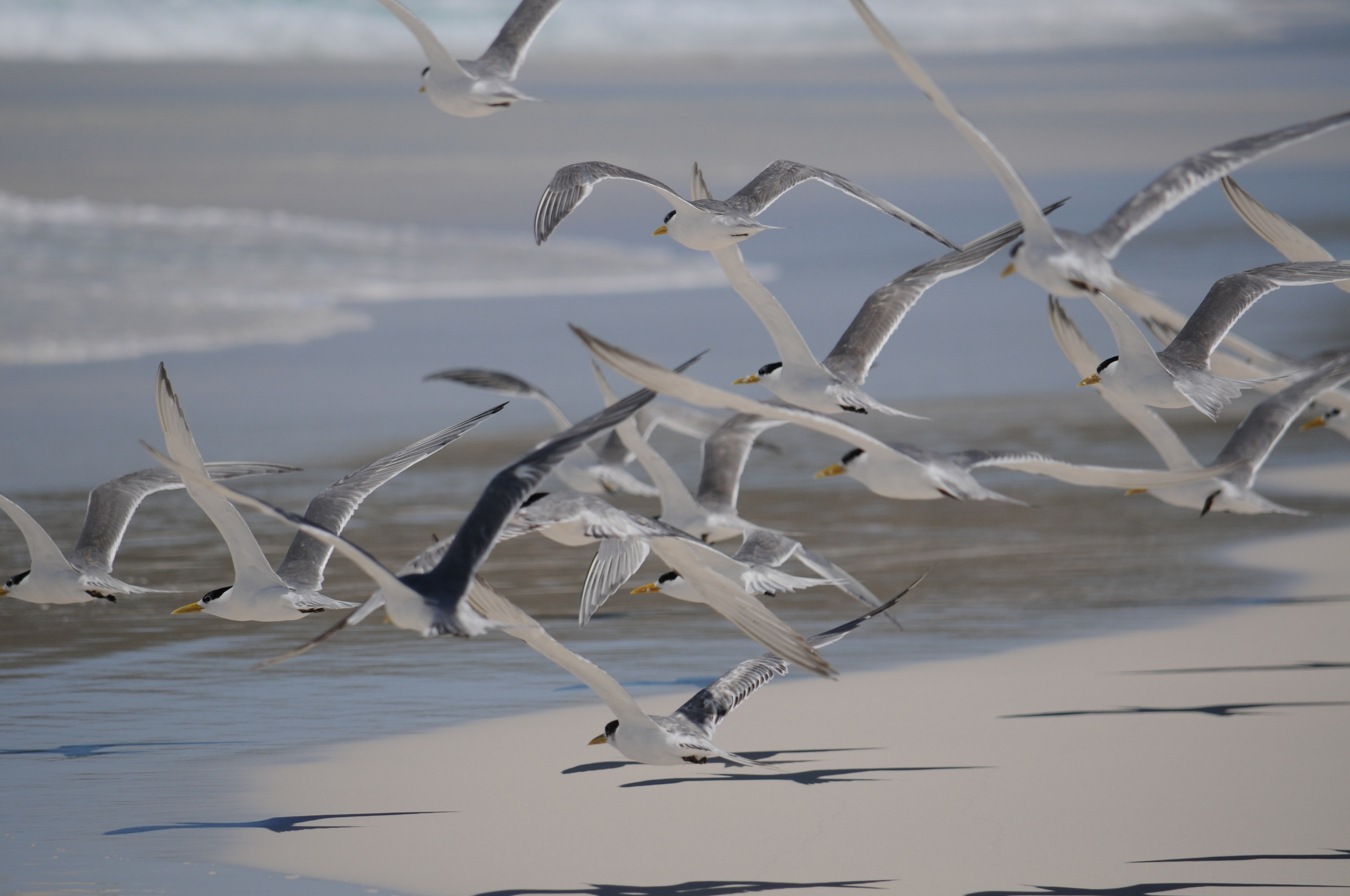 A group of caspian terns take off.