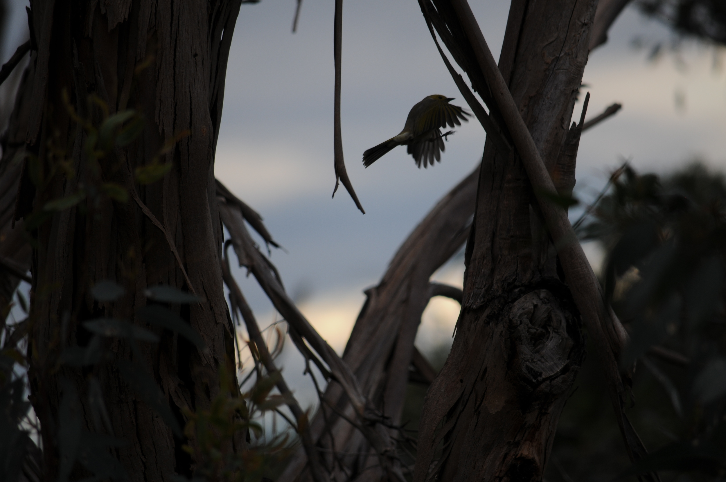 White-plumed Honeyeater showing off it's agility.