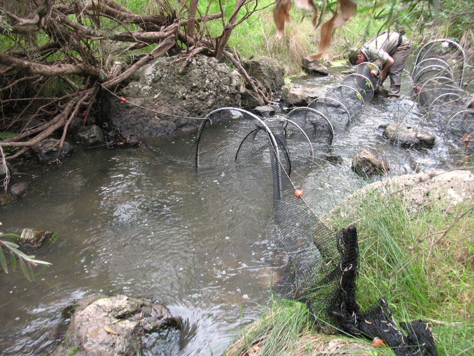 Setting one of the many specially designed Platypus traps used during the population surveys. As can be seen in the photo one trap opens upstream whilst the other opens downstream.