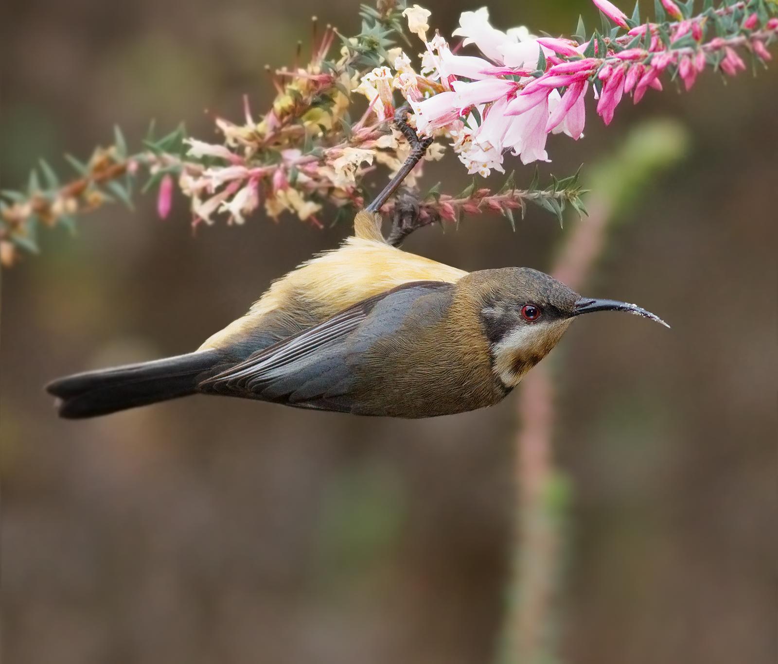 An Eastern Spinebill enjoying the nectar of the Common Heath. Image Credit:  http://en.wikipedia.org/wiki/Epacris_impressa
