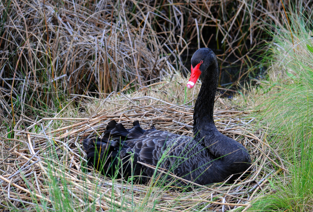 A black swan ( Cygnus a  tratus ) nesting at Albert Park Lake, Melbourne.