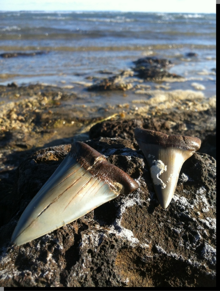 Fossilised shark teeth displayed on the rocks of Beaumaris Bay. Image courtesy of http://www.weekendnotes.com