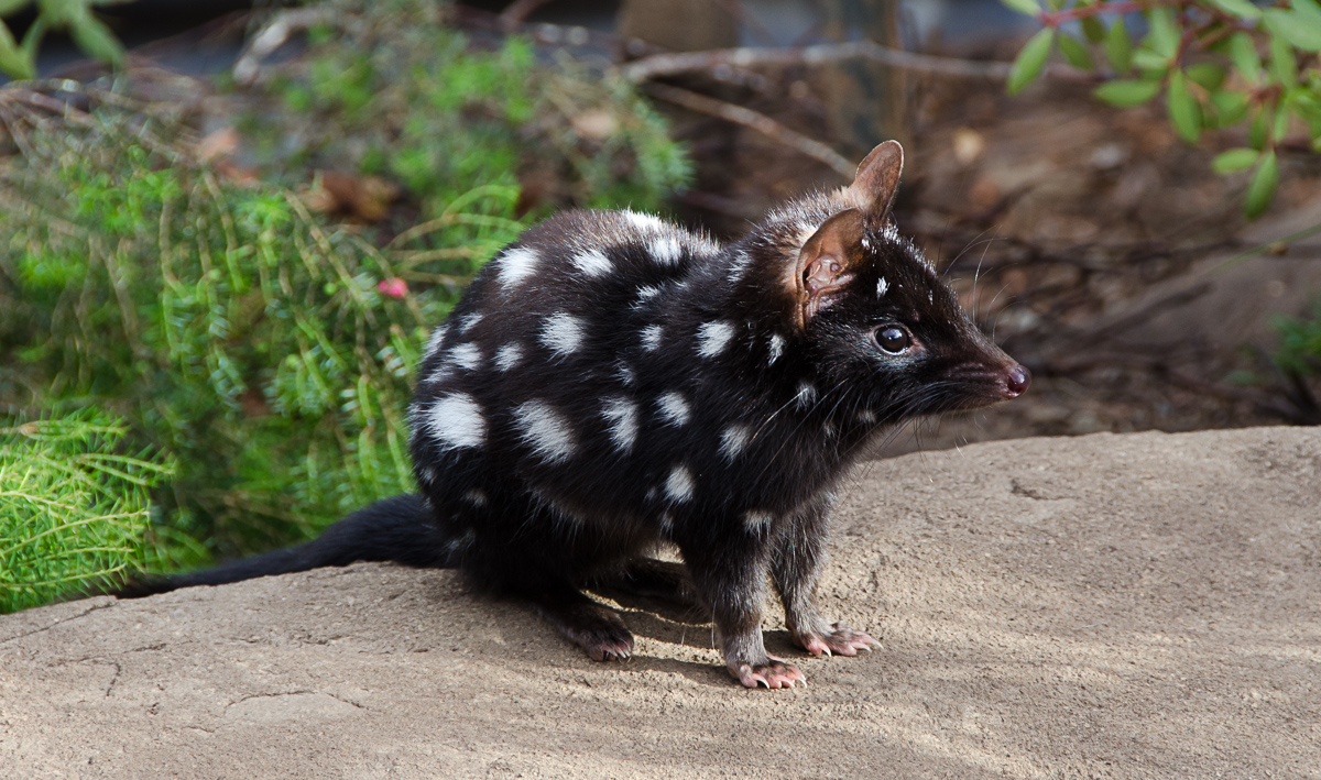 The gorgeous eastern quoll (Image: Mark Faucher)