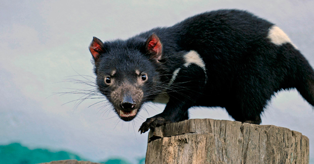 The Tasmanian devil (photo: Greg Wood)