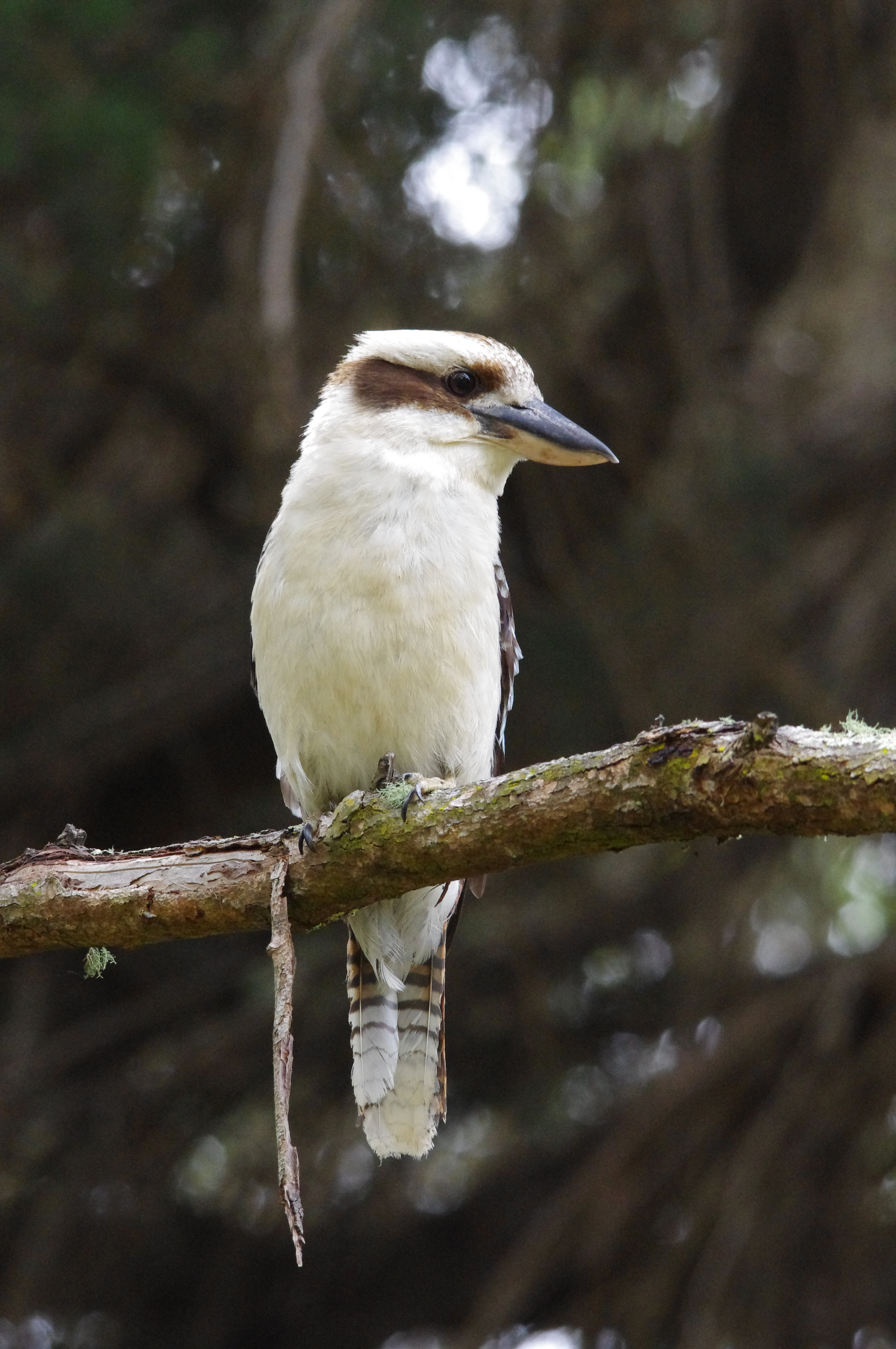 The kookaburra (Photo: Cathy CavAllo)
