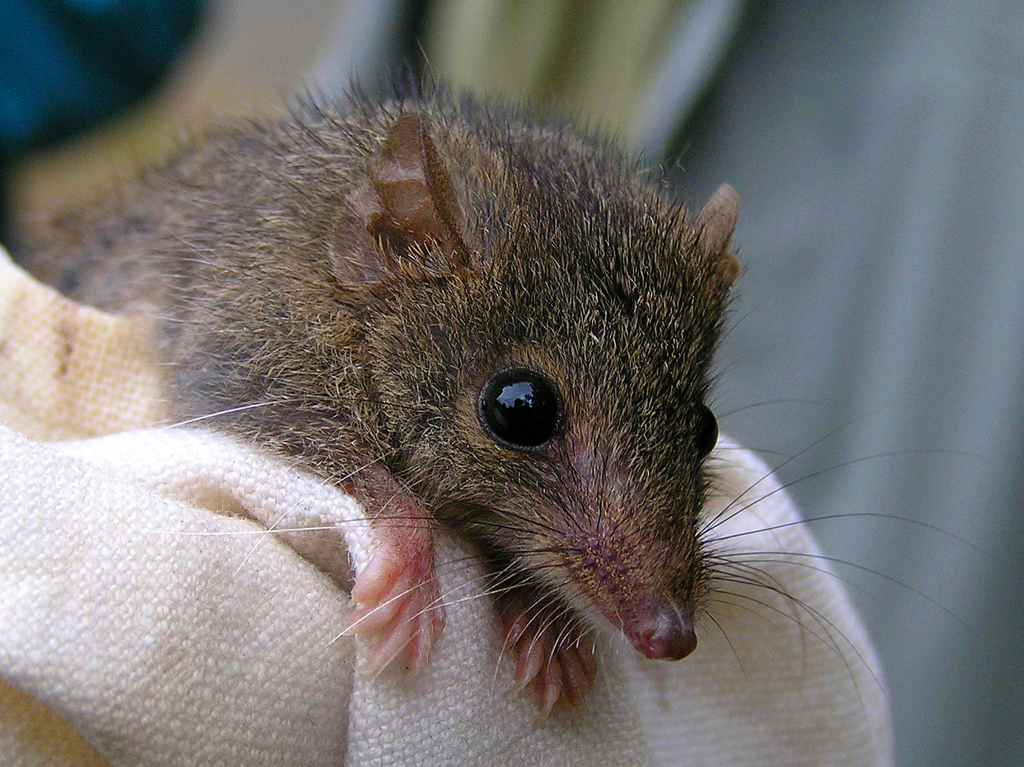 What about the agile antechinus ( Antechinus agilis ) which is often found where other species of antechinus and rodents occur?   Photo: Mel Williams ( Wikimedia Commons )