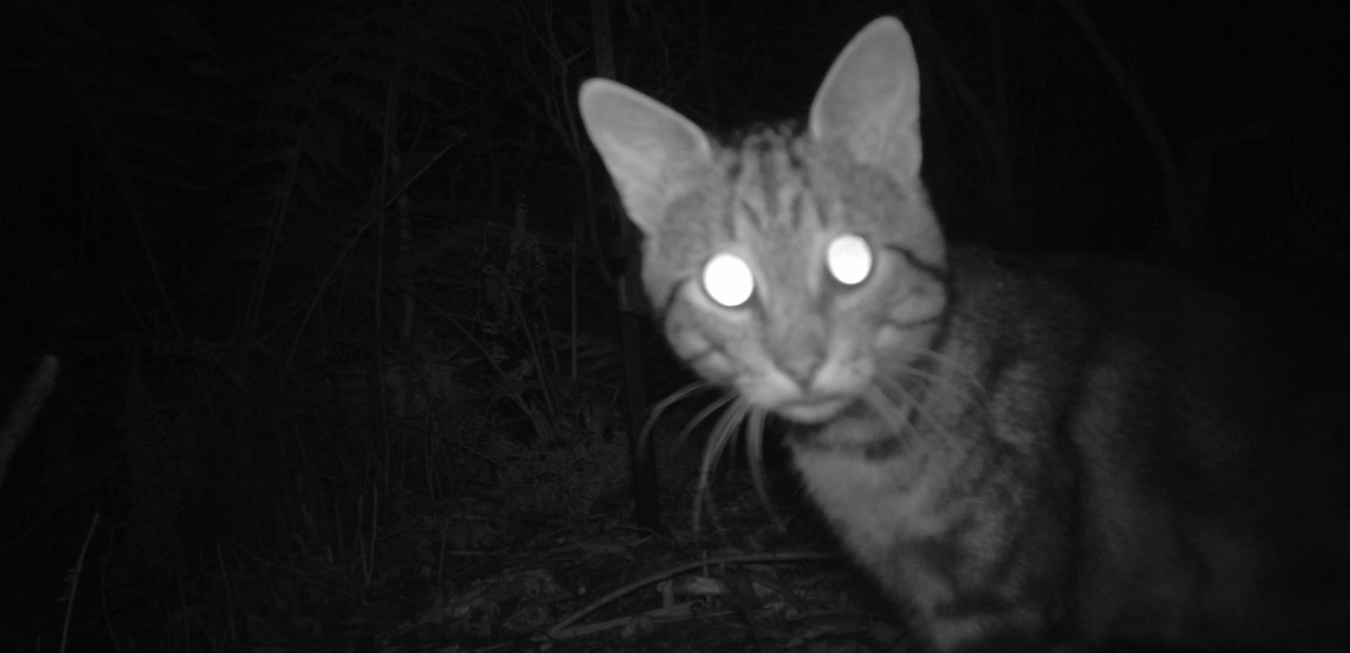 Domestic cats ( Felis catus ) are a major threat to Australian mammals, birds, reptiles and amphibians. Photo: Billy Geary