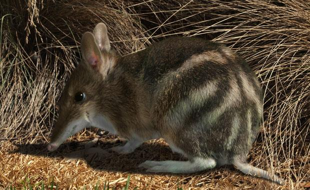 The eastern barred bandicoot is now extinct in the wild on mainland Australia. Photo: Zoos Victoria