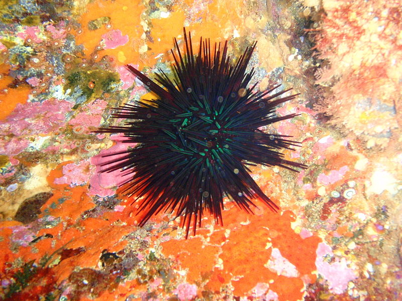 Australian species of sea urchins are among those shifting their distribution poleward in recent years. Photo: Peter Southwood (Wiki Commons)