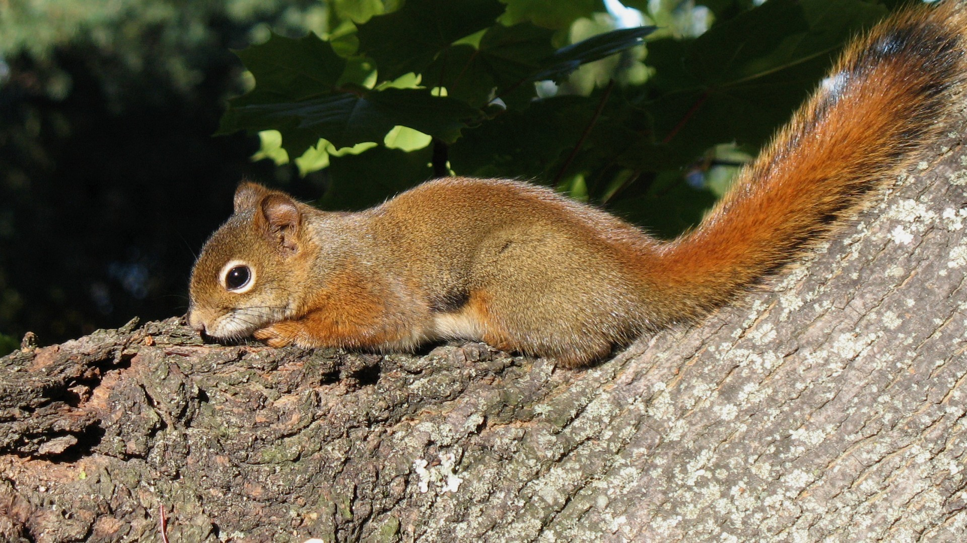 Some species, such as the Canadian red squirrel, have shown an evolutionary response to the effects of climate change. Photo: Gilles Gonthier (Wiki Commons)