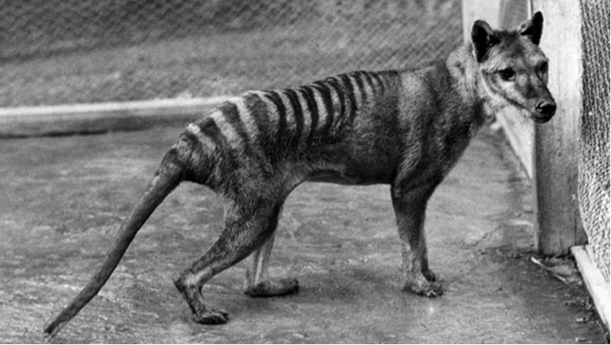 One of the few photographs taken of the last thylacine, a resident of Hobart Zoo.  Photo courtesy of Australian Museum.