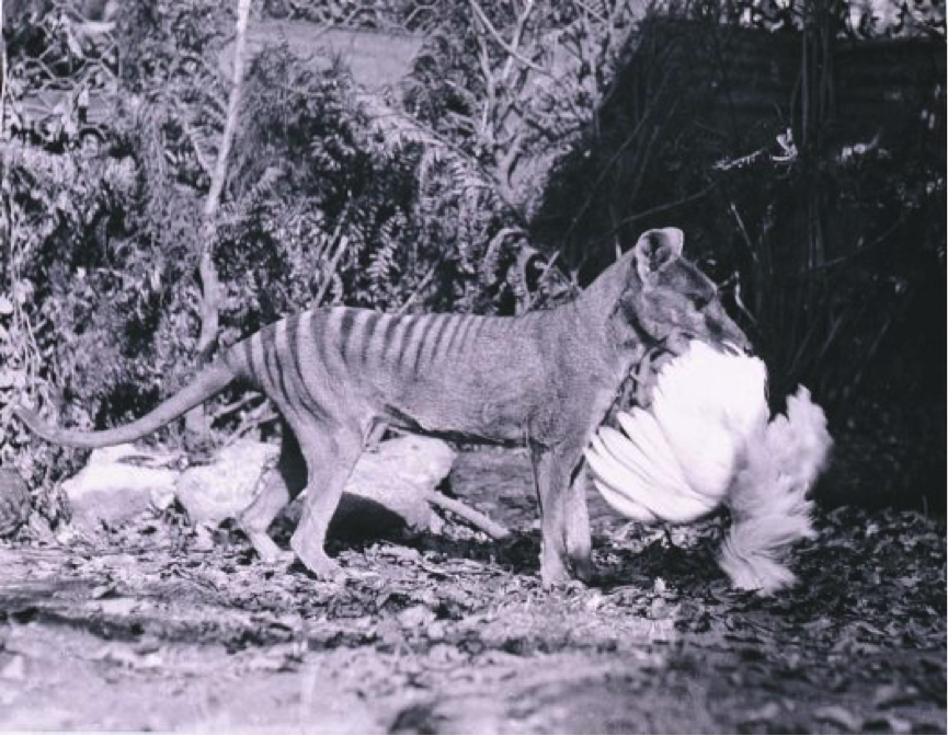 The infamous image of a thylacine with a chicken in its mouth - most likely staged.  Photo courtesy of Australian Geographic.