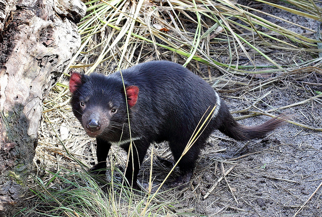 Is it time for the Tasmanian devil to return to its former home? Photo: SJ Bennett