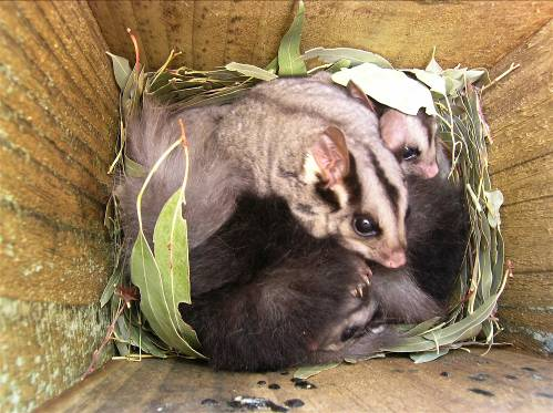 Squirrel gliders use the nest boxes set up by the Regent Honeyeater Project team. Image curtesy of the Regent Honeyeater Project.