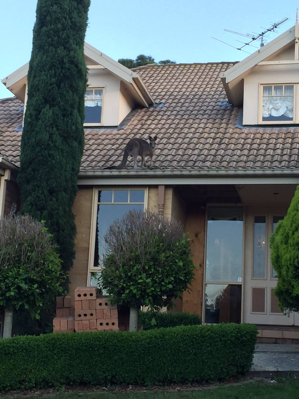Sharon helped this kangaroo down after it found itself in an unexpected situation. As this house is on a slope, Sharon believes the roo must have jumped from the neighbouring garden which is at a higher elevation - not from the ground!  Image: Wildlife Rescuers