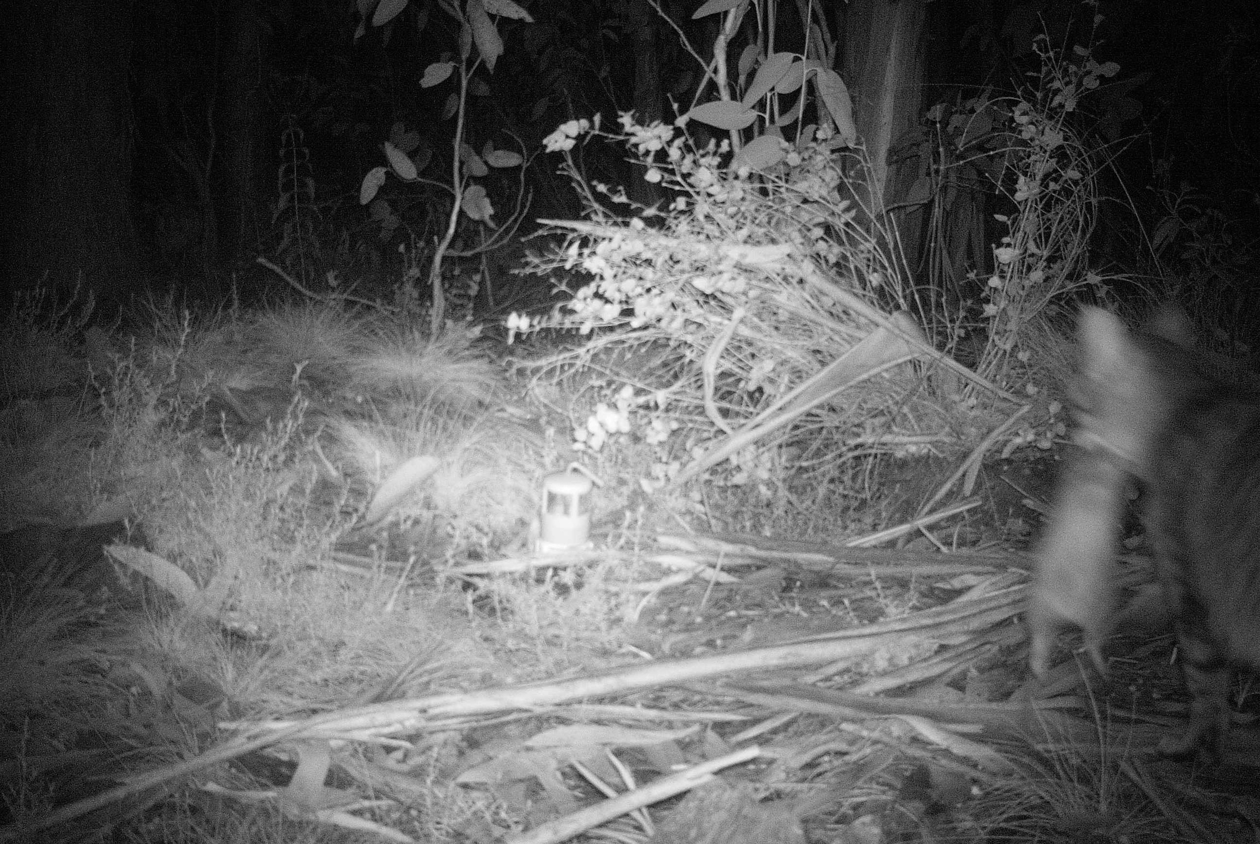 A feral cat carrying its dinner, a critical weight range mammal. (Image: Billy Geary)