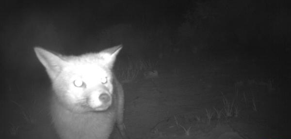 Foxes are distributed widely across Australia. Image: Billy Geary