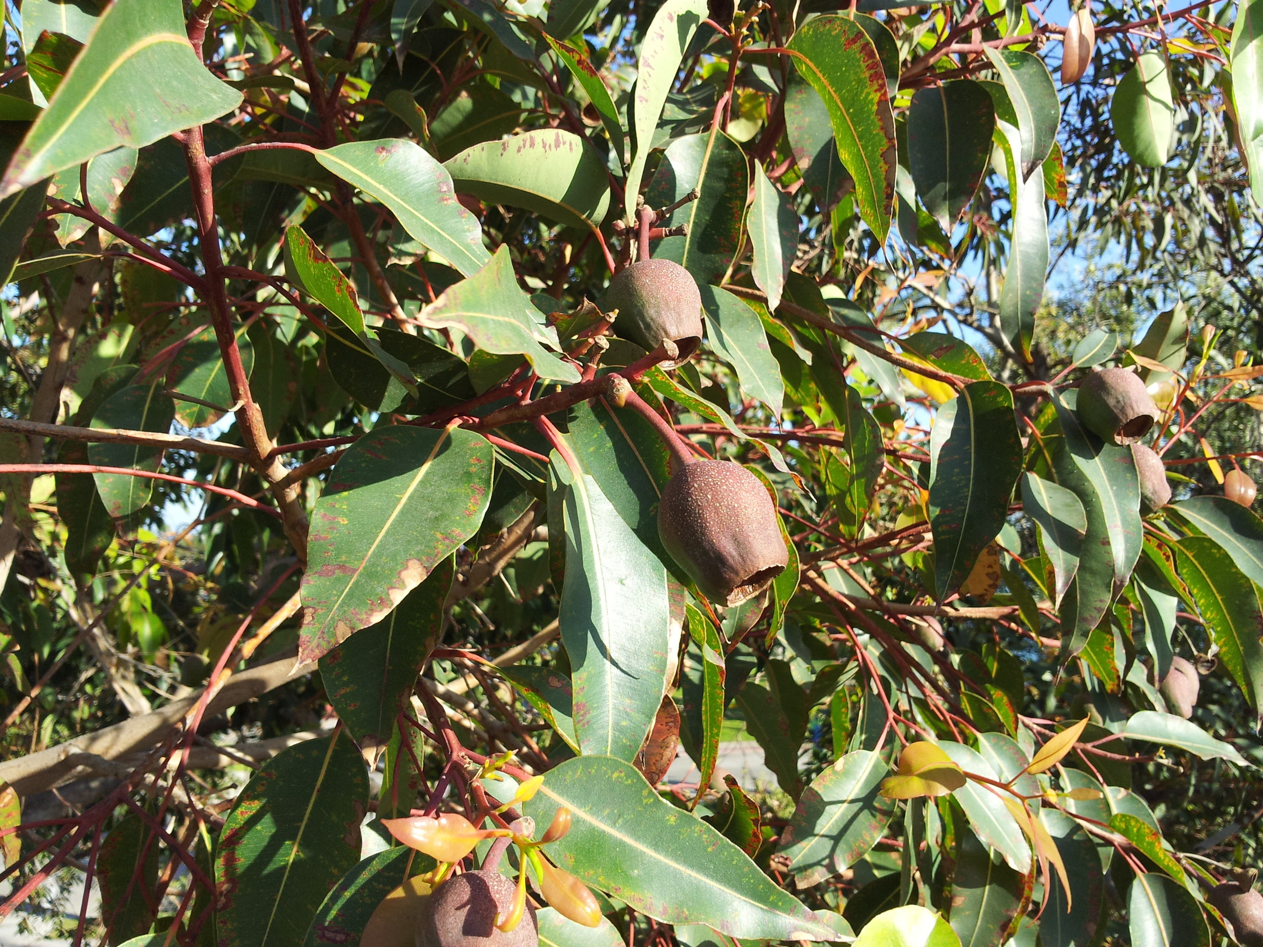 The iconic gumnuts of Australia's Eucalyptus trees.