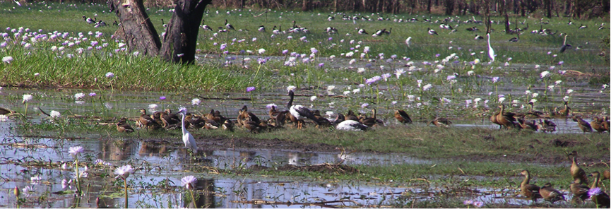 Thousands of different species of birds visit wetland areas to breed.  Image:   CSIRO.