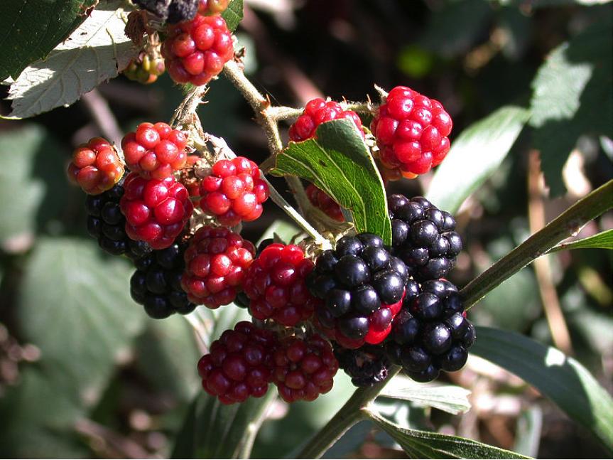 When ripe, European blackberry fruit is dark purple, or even black in colour.  Image: Wikimedia Commons
