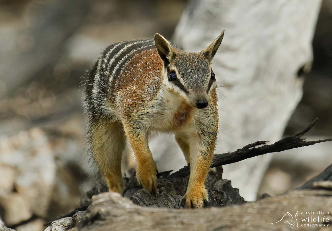 A numbat from Yookamurra Sanctuary (Photo by W. Lawler, used with permission from Australian Wildlife Conservancy)
