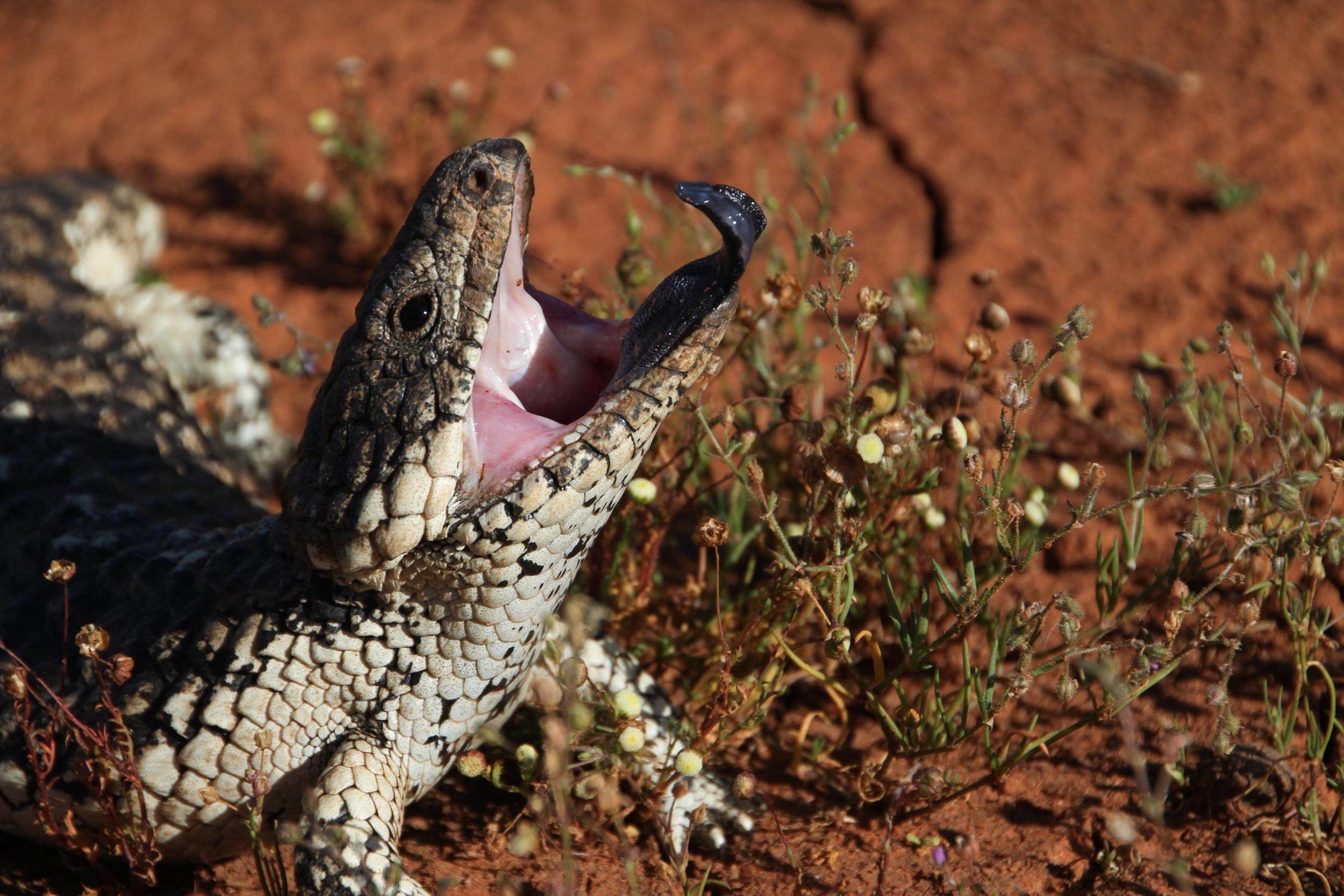 A shingleback lizard.  Image: Marcia Riederer