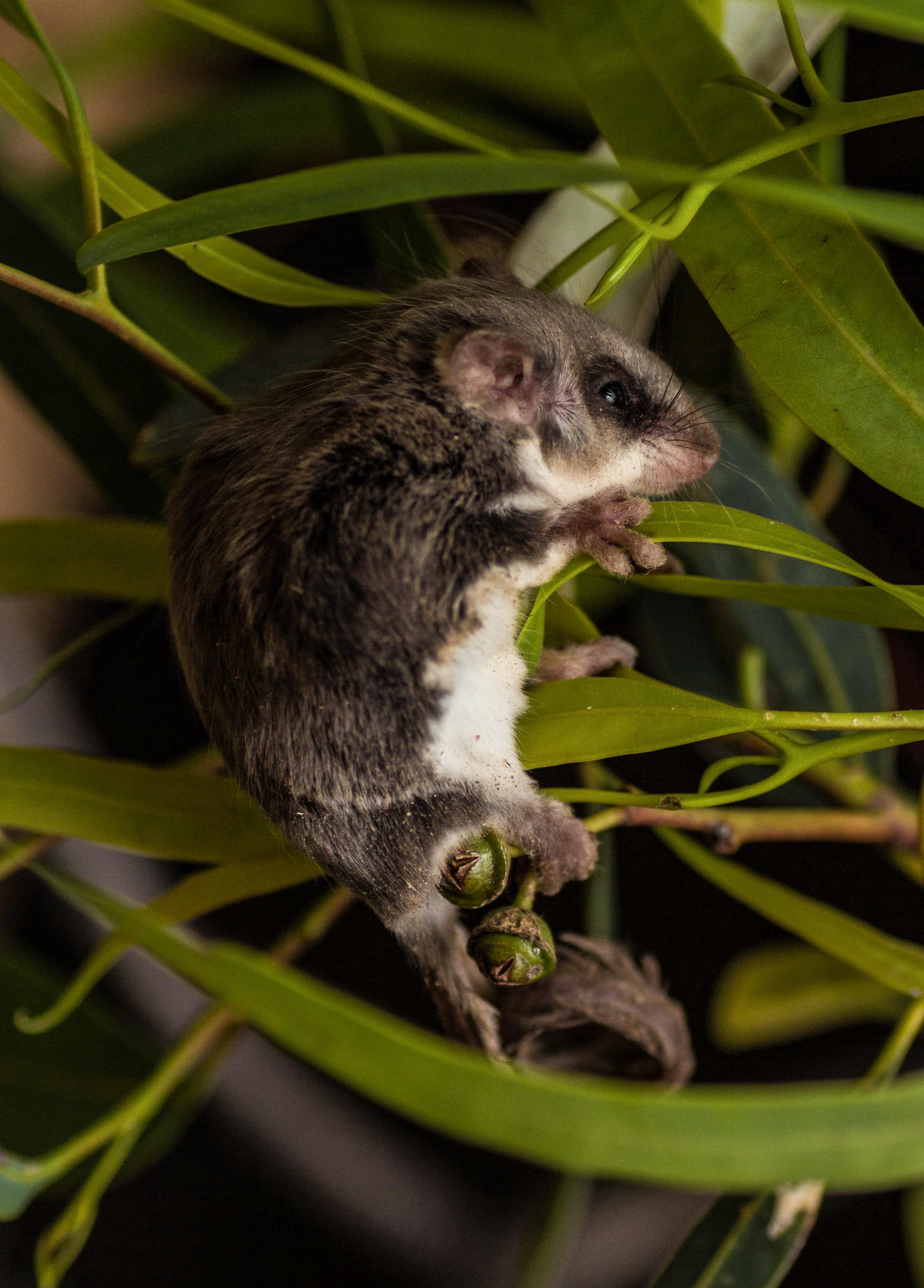 Edge Pledge could help mammals like this feathertail glider.  Image: Marcia Riederer