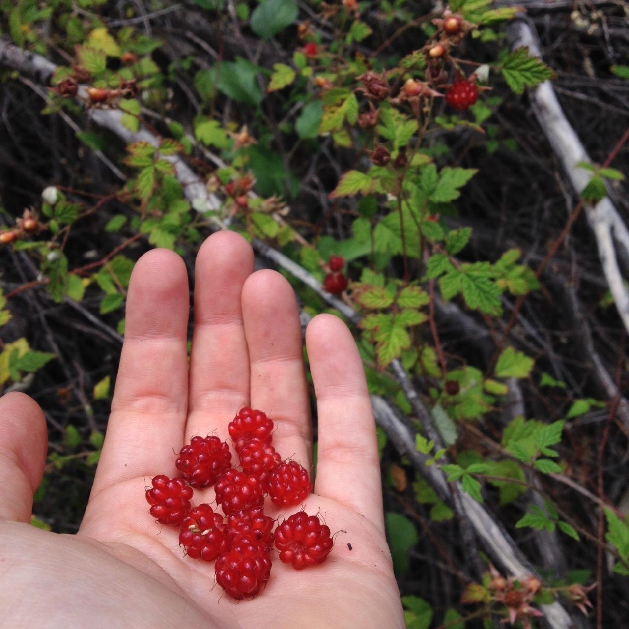 Native rasberries. Photo: Fam Charko.
