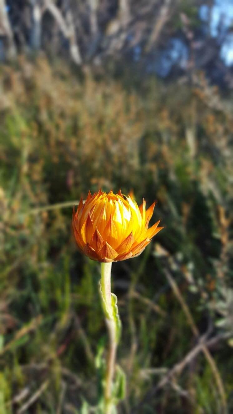 Everlasting flower. Photo: Fam Charko