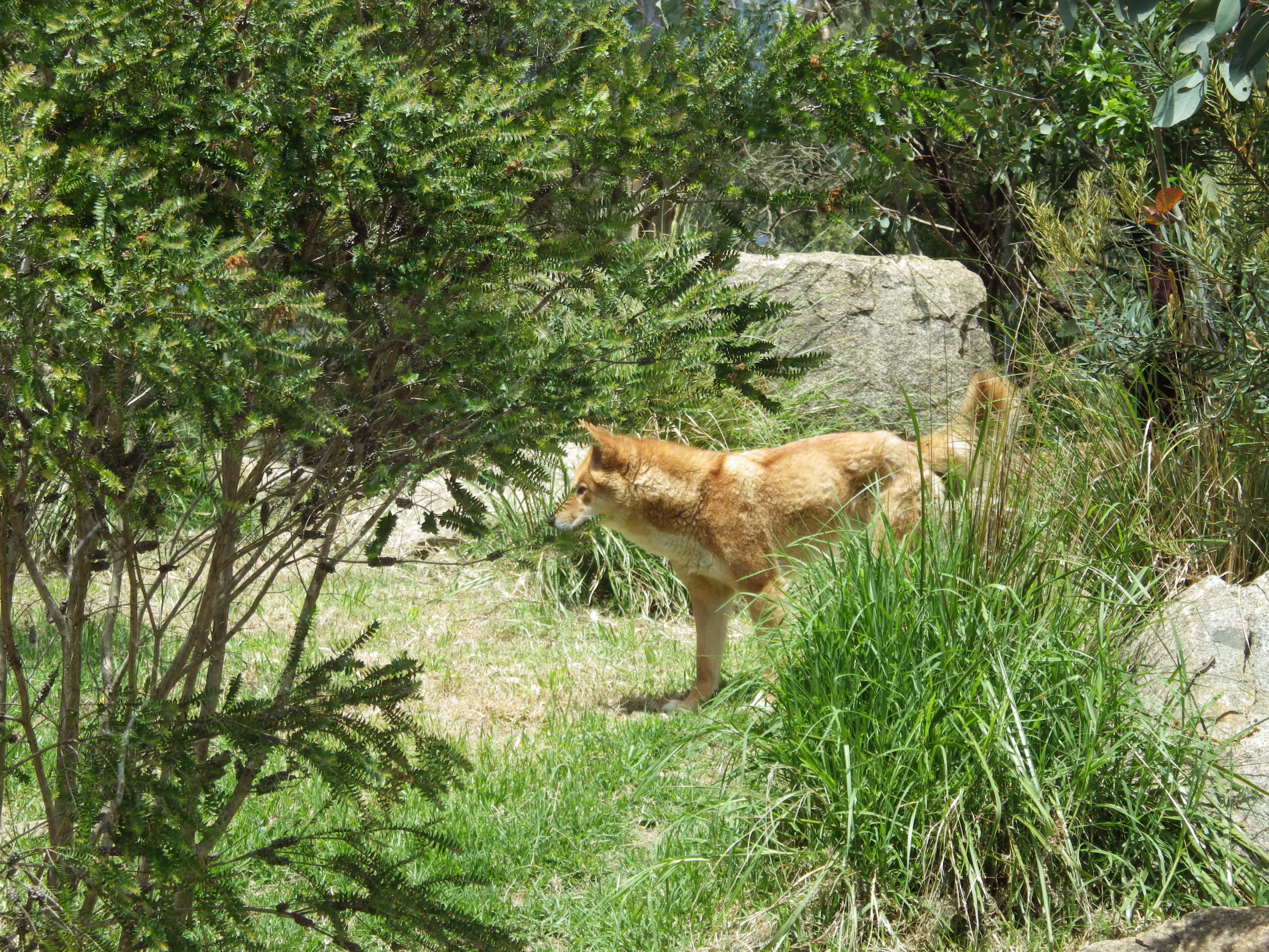 Dingo ( Canis dingo ). Photo: Alex Mullarky