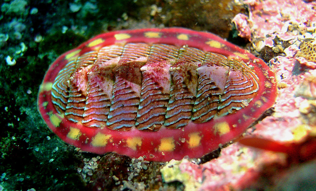 Chitons are an example of an ancient group of molluscs.