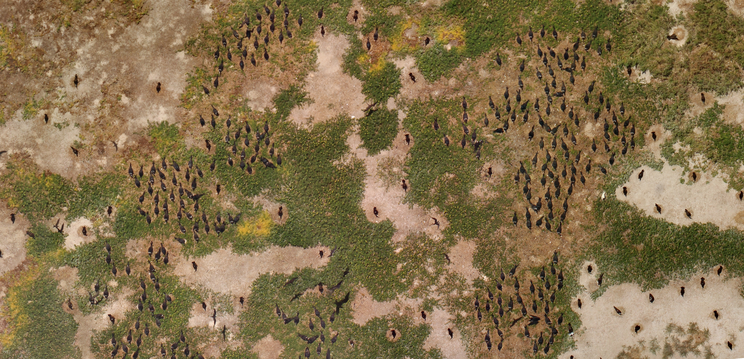An image of the seabird colony taken by the team's UAVs. Image: Jarrod Hodgson