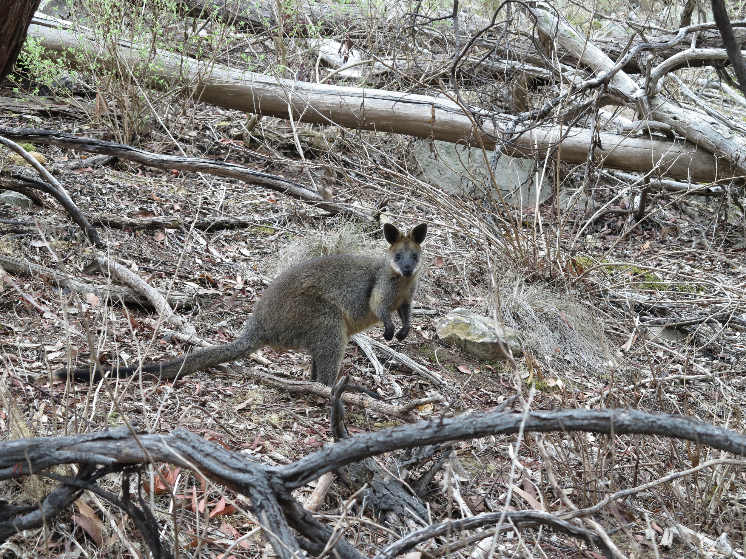 Ecotourism needs to be a balance between exciting and safe animal encounters. Swamp wallabies and other macropods are often easy to spot, as long as one quietly keeps their distance.  Image: Alex Mullarky