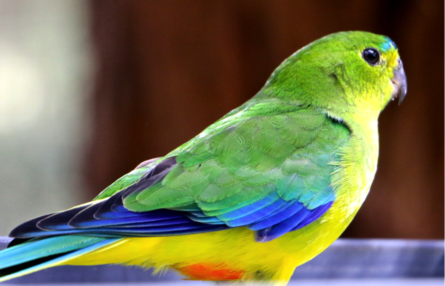 The stunning array of colours present on the orange-bellied parrot. Photo: Lauren Hall