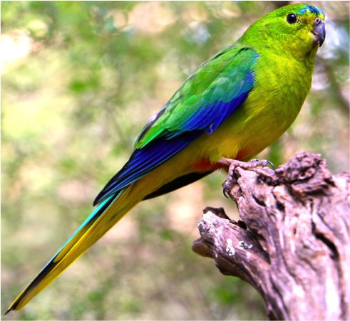 The orange-bellied parrot. Photo: Lauren Hall