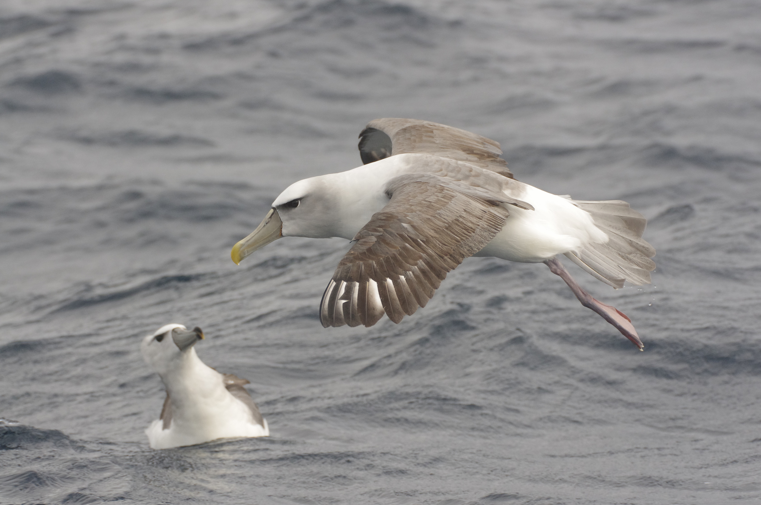 The long, down-curved wings of a shy albatross are all grey on top and mostly white below with a thin black edge. Photo: Rowan Mott
