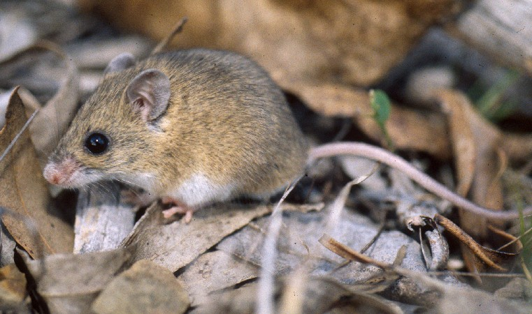 The pebble-mound mouse. I mage: Wiki Commons