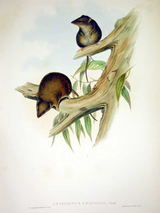 The agile antechinus ( Antechinus agilis ). Image: John Gould