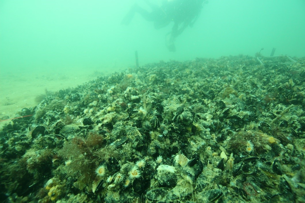 A deployed shellfish reef.  Image: Paul Hamer