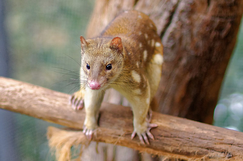 A tiger quoll. (Image: Wikimedia Commons: Michael J Fromholtz)