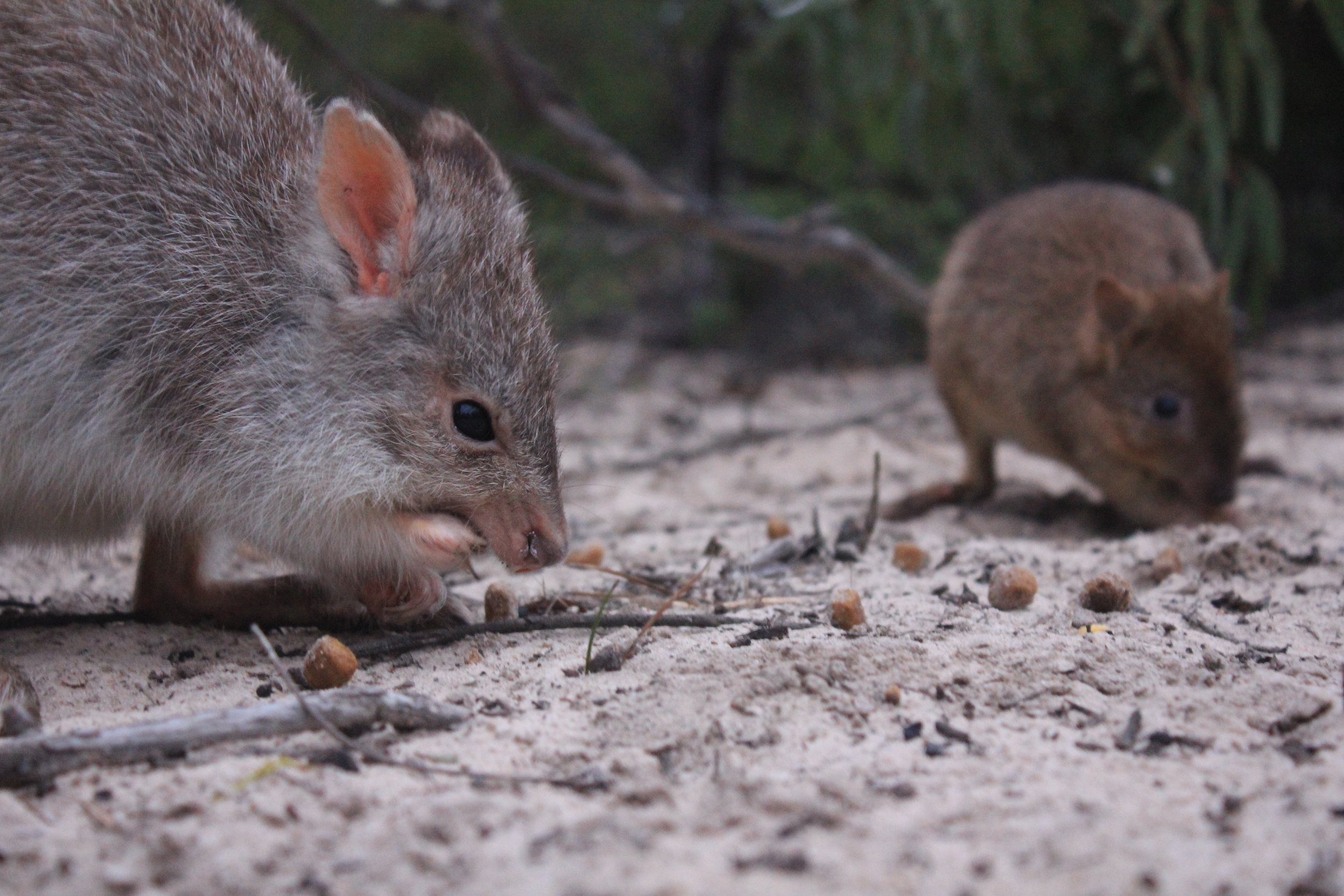 Medium-sized mammals like this rufous bettong (left) and brush-tailed bettong (right) once roamed the Little Desert.  Image: Emma Walsh
