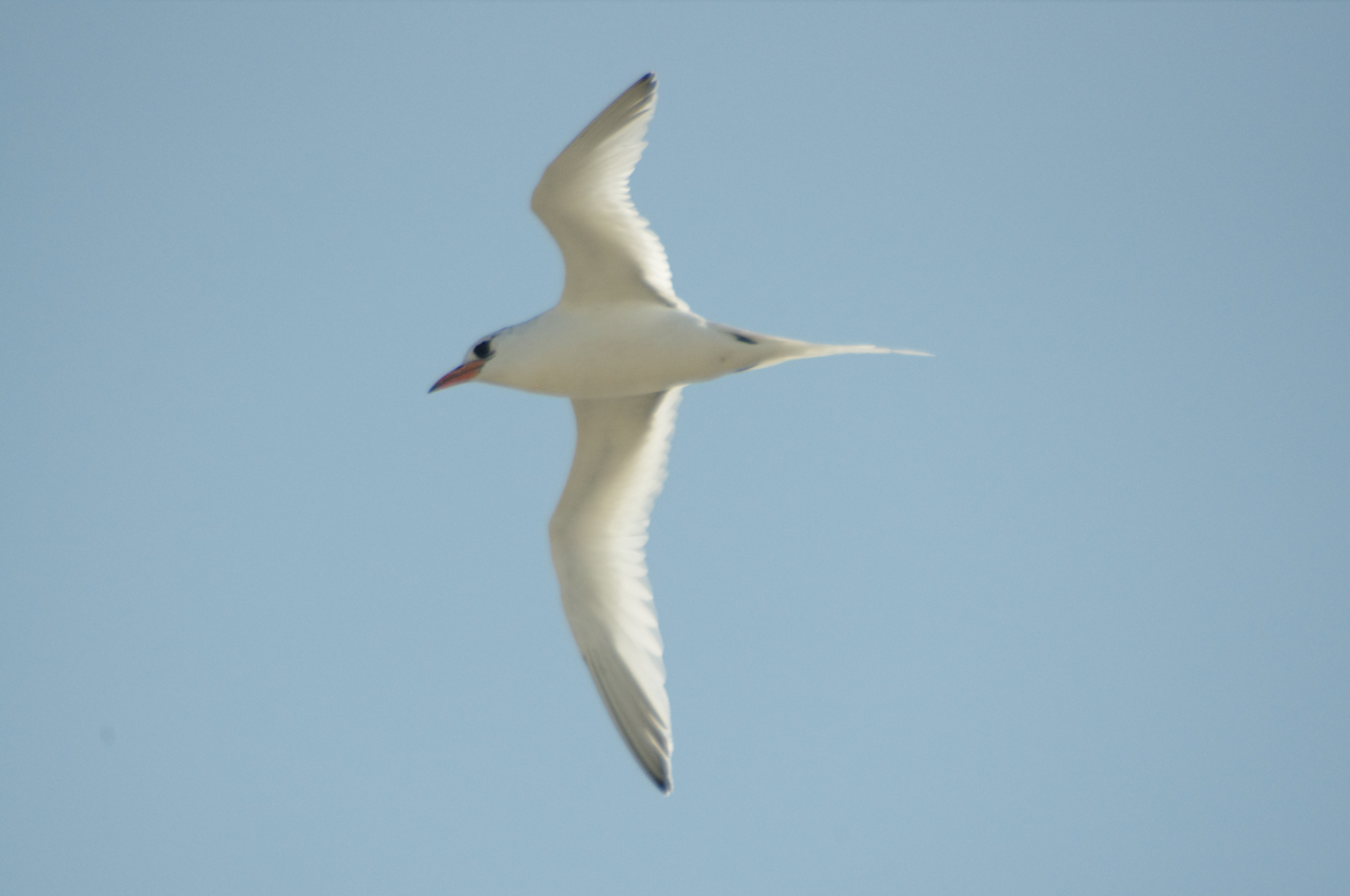 There is currently a submission being reviewed by BirdLife Australia's Rarities Committee to verify that this is a genuine Red-billed Tropicbird. If accepted, this will become only the second record of this species in Australia. Photo: Rowan Mott.