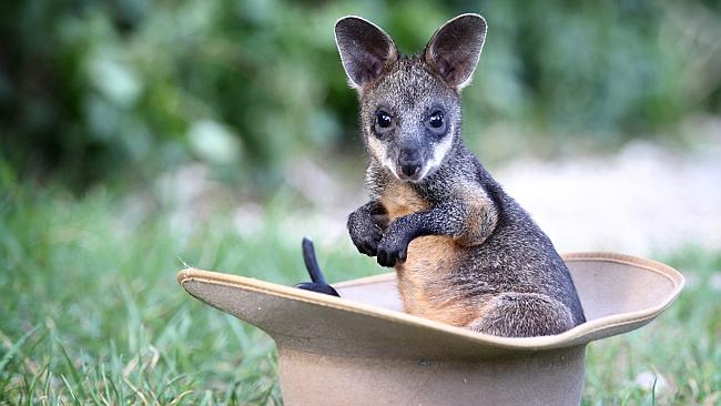 This baby swamp wallaby likely has many parasites in its stomach.