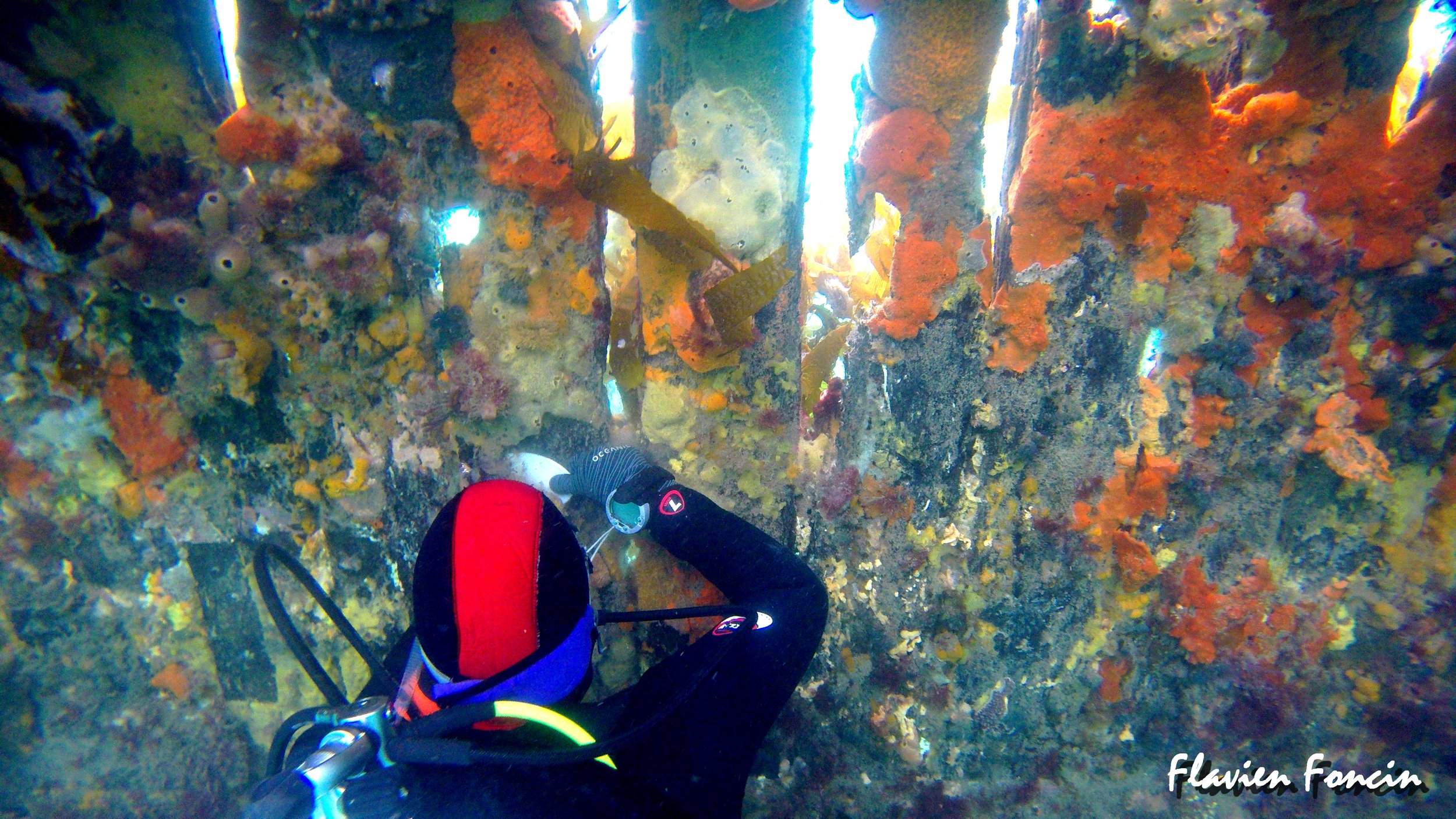 Diver scraping sponges off the old panels for transplanting. Photo credit: Flavien Foncin