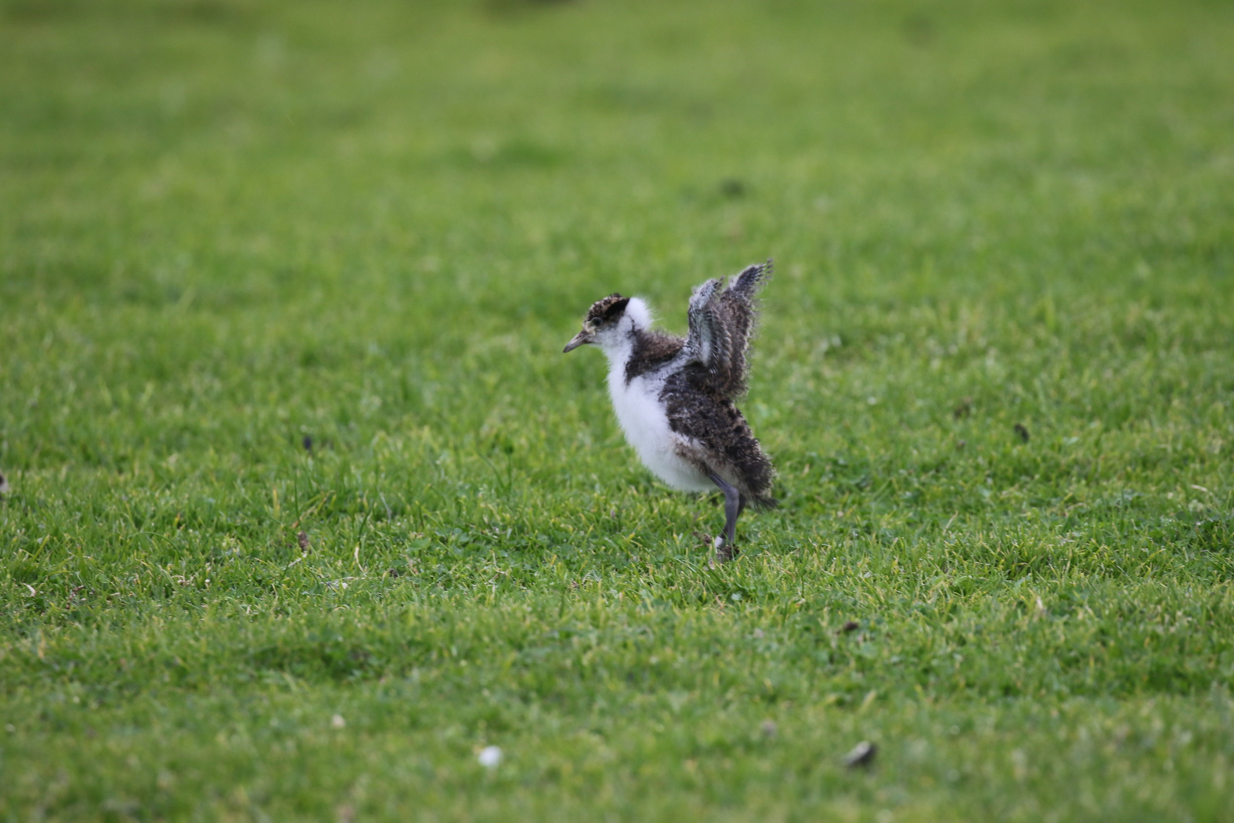 For a number of weeks after hatching, young birds such as this juvenile masked lapwing are unable to fly. This makes them vulnerable to predators and dependent on their parents to provide protection. Image: Rowan Mott
