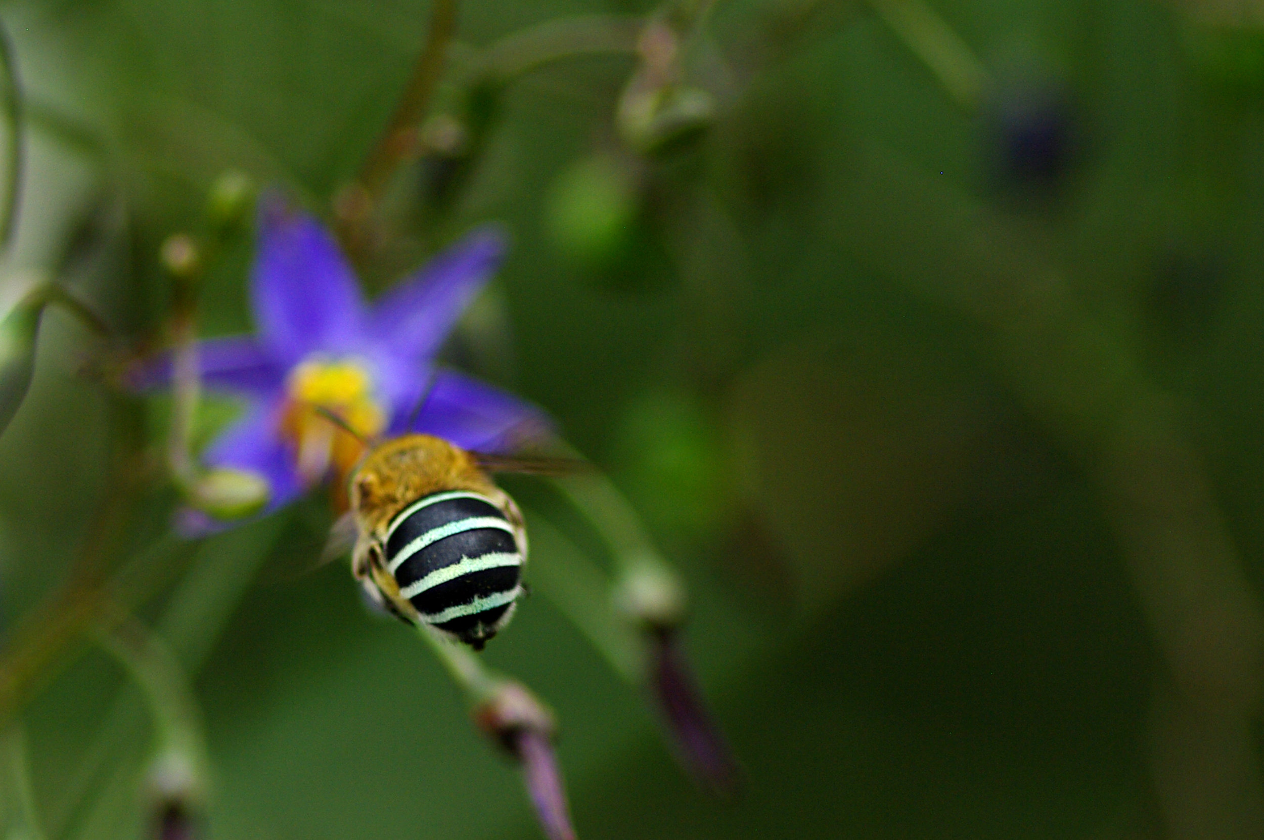A blue-banded bee ( Amegilla asserta ) flying towards a black-anther flax-lily.  Image: Luis Mata