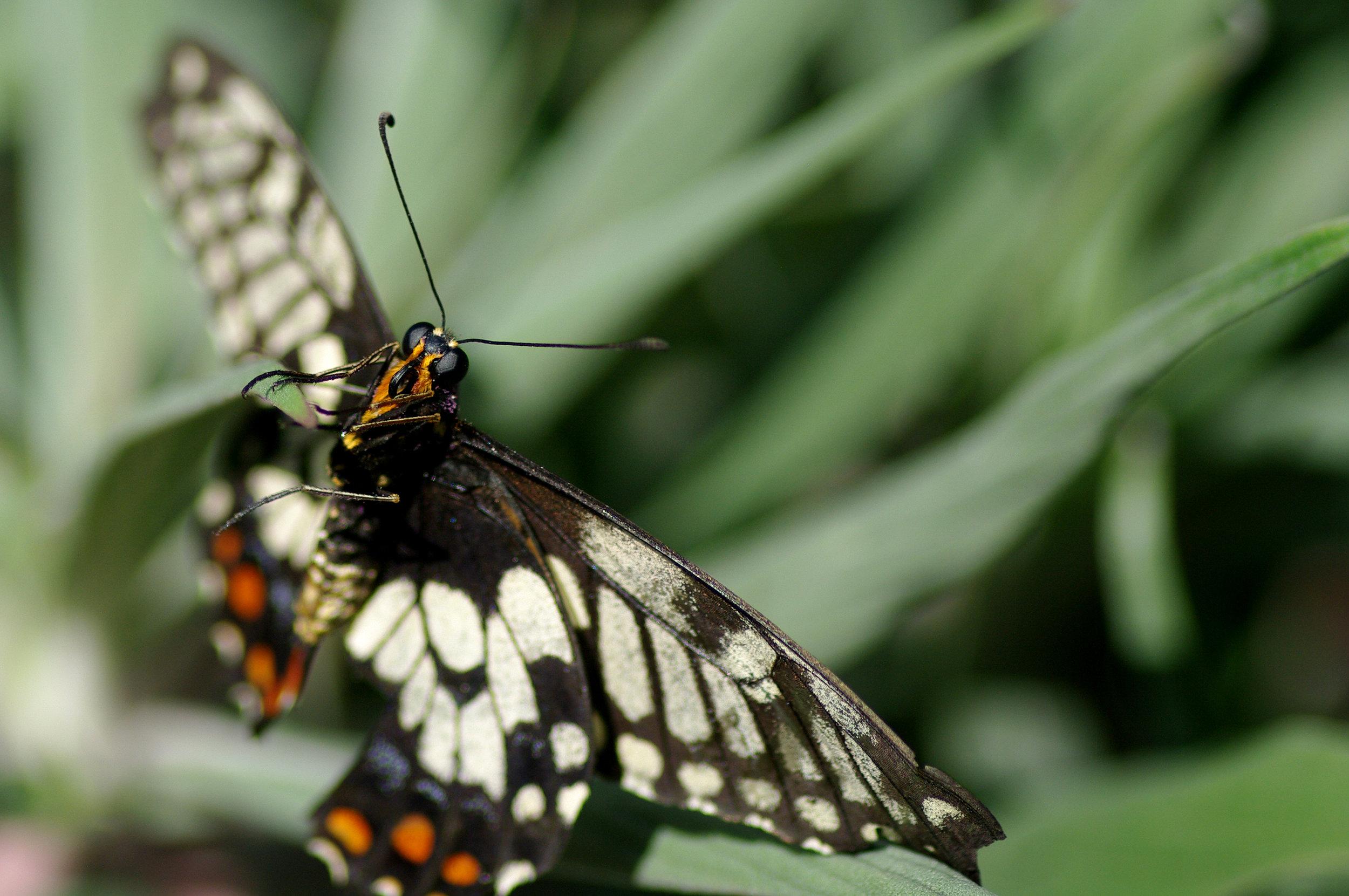 A dingy swallowtail ( Papilio anactus ) in Carlton Gardens.  Image: Luis Mata