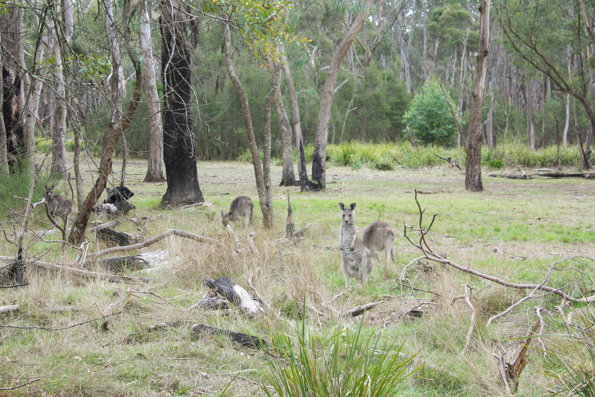 How often do you stop to gaze at the eastern grey kangaroos so characteristic of Victorian landscapes?  Image: Alex Mullarky