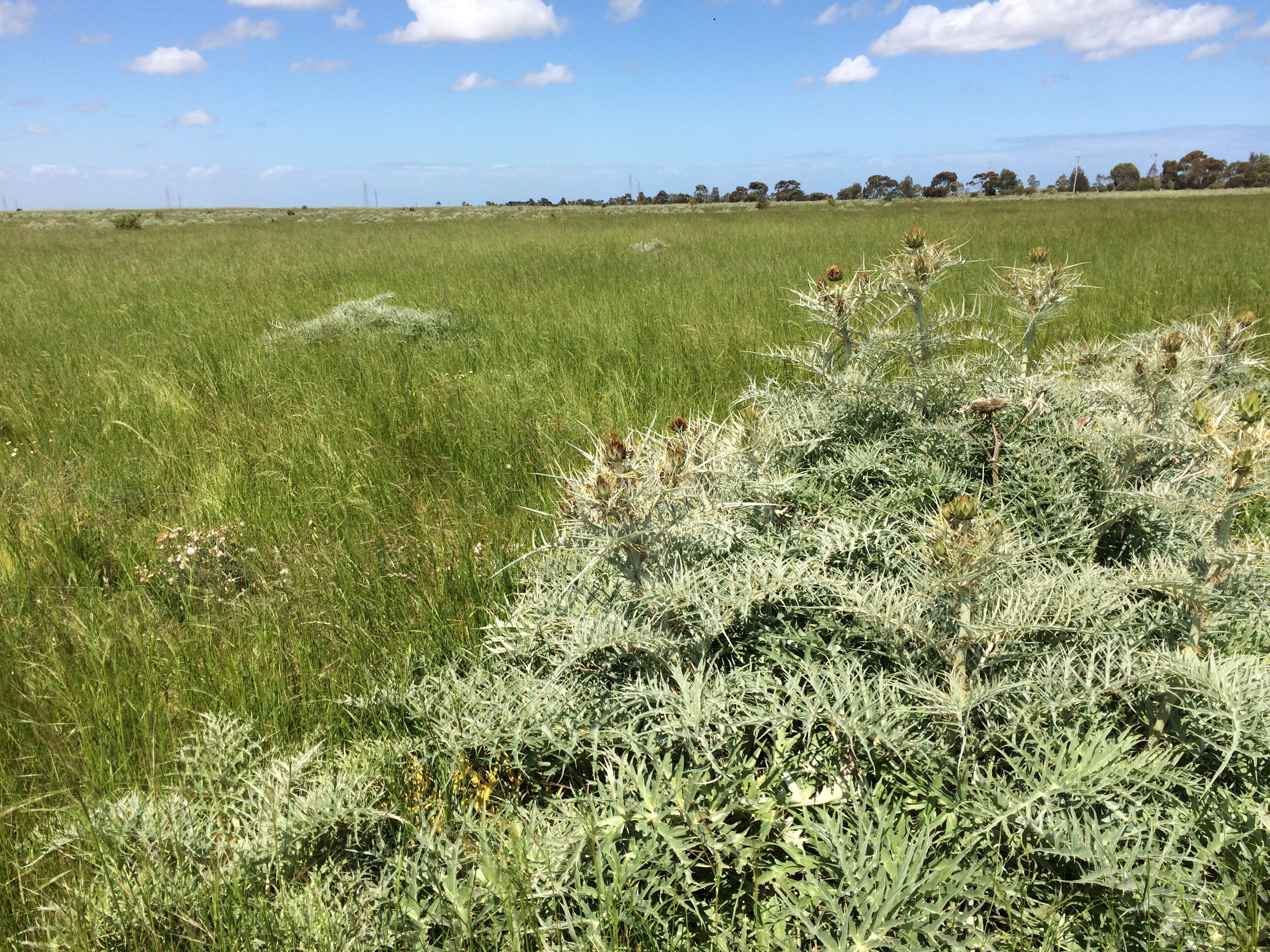 Normal   0           false   false   false     EN-GB   X-NONE   X-NONE                                                                                                                                                                                                                                                                                                                                                                                                                                                                                                                                                                                                                                                                                                                                                                                                                                                          Introduced artichoke thistles tower above the surrounding grasses and herbs, but offer great perches for Eurasian skylarks and Horsfield's bush larks to sing from.  Image: Rowan Mott