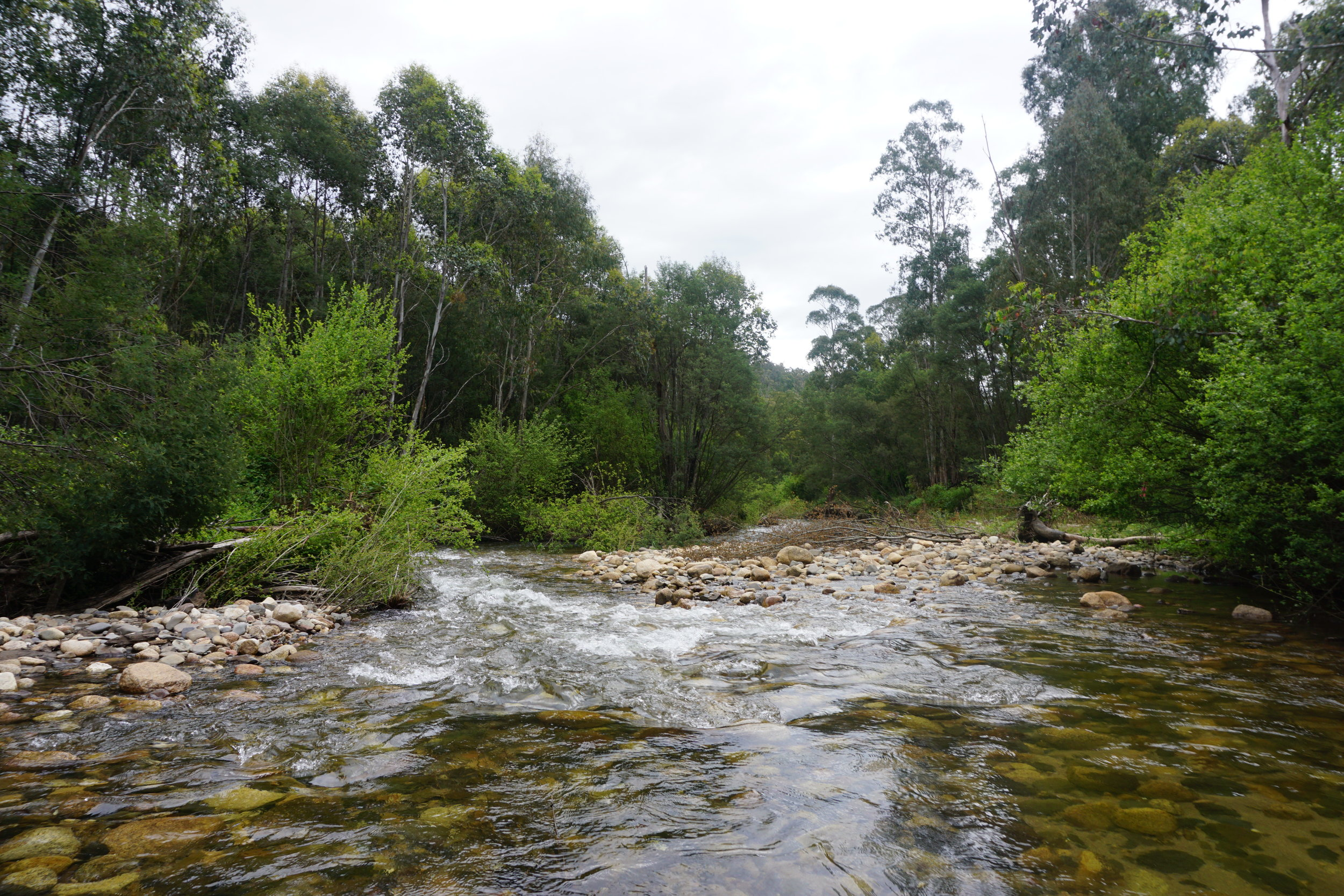 Willows growing into Yarrabula Creek in northeastern Victoria.  Image: Emily De Stigter